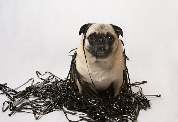 Pug in a pile of backup tapes